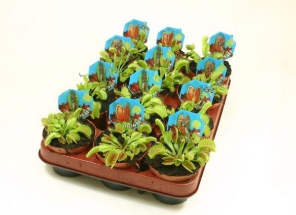 Dionaea muscipula (Venus Fly Trap) in 9cm Pot