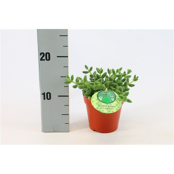 Delosperma echinatum (Pickle Plant)