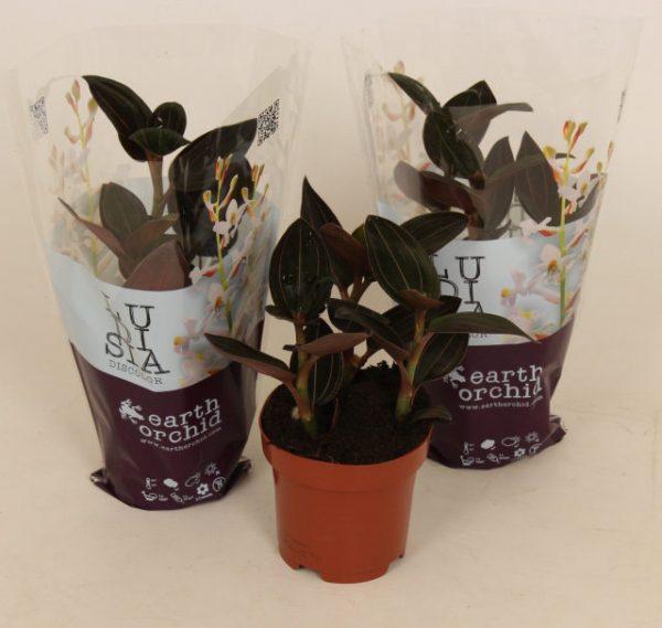 Ludisia discolor Mix (Jewel Orchid)