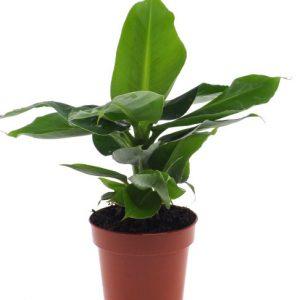 Musa acuminata 'Tropicana' (Banana Plant)