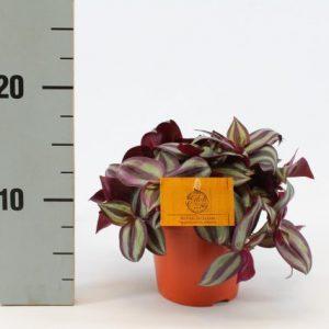 Tradescantia zebrina (Inch Plant) in 12cm Pot