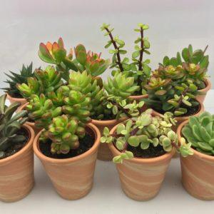 Succulent mix in 9cm terracotta pot