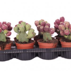 Opuntia vulgaris (Prickly Pear Cactus)