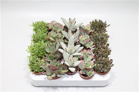 Kalanchoe botanic mixed