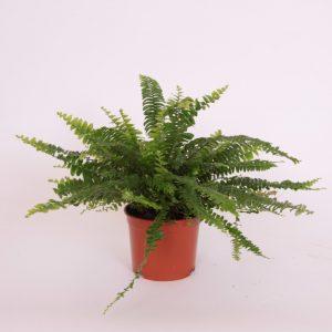 Nephrolepis exaltata 'Green Lady' (Boston Fern) in 12cm Pot