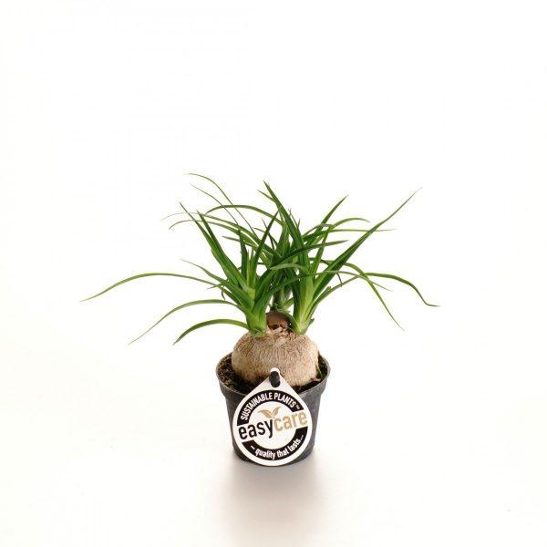 Beaucarnea recurvata (Ponytail Palm) in 6cm Pot