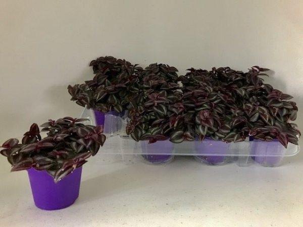 Tradescantia 'Purple Passion' in 7cm Pot