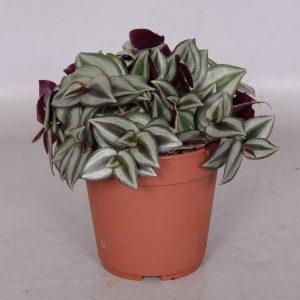 Tradescantia zebrina 'Violet' in 12cm Pot