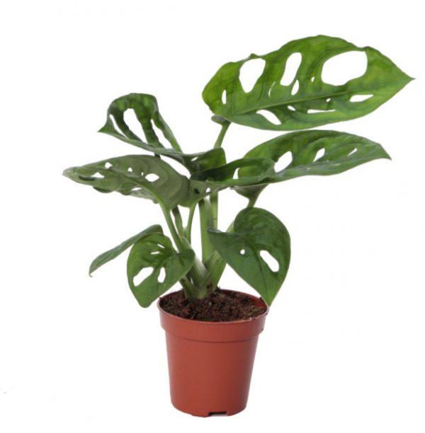 Monstera obliqua 'Monkey Leaf'