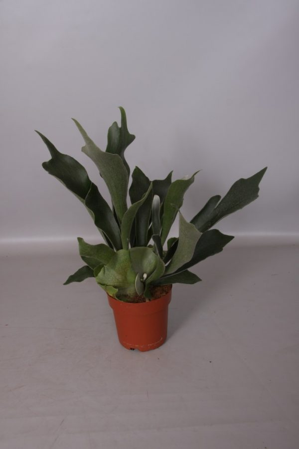 Platycerium bifurcatum (Staghorn/ Elkhorn Fern)