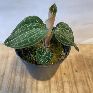 Anoectochilus formosanus (Jewel Orchid) 2
