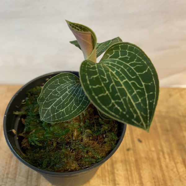 Anoectochilus formosanus (Jewel Orchid)