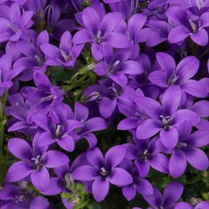 Campanula ambella 'Intense Purple'