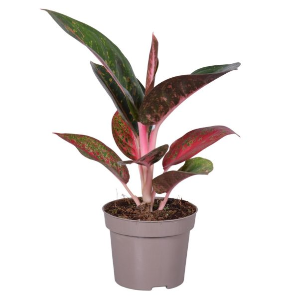Aglaonema 'Dark Pink Star' (Chinese Evergreen)