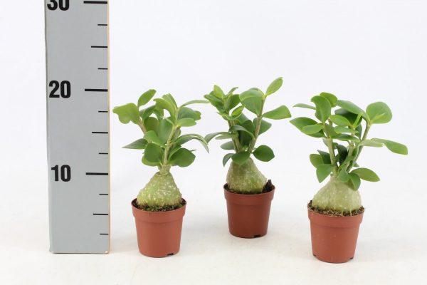 Hydnophytum papuanum (Ant / Maze Plant)