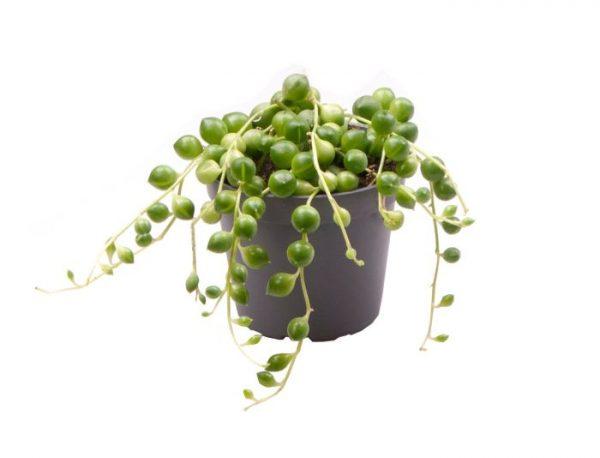 Senecio herreianus (String of Beads)