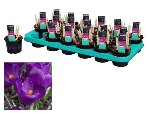 Crocus vernus 'Flower Record'