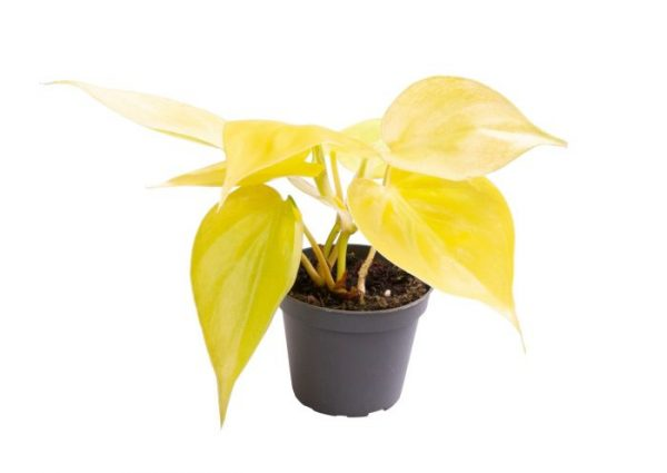 Philodendron 'Neon'