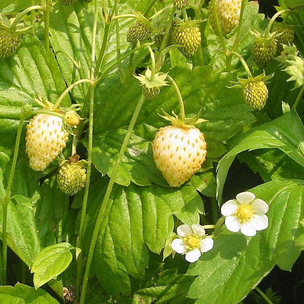 Fragaria vesca 'Yellow Wonder' (Alpine Strawberry)