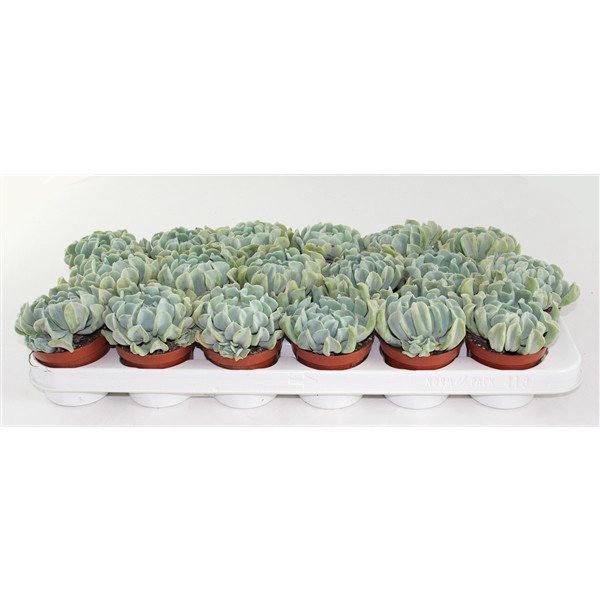 Echeveria crispes