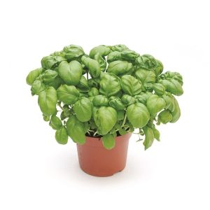 Ocimum basilicum (Basil)