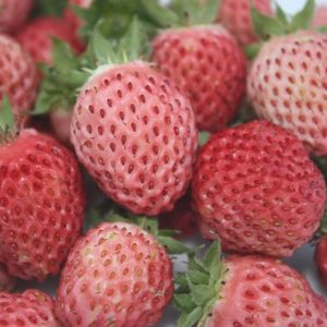Fragaria 'Bubbleberry'