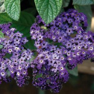 Heliotropium arborescens 'Marino Blue' (Heliotrope)