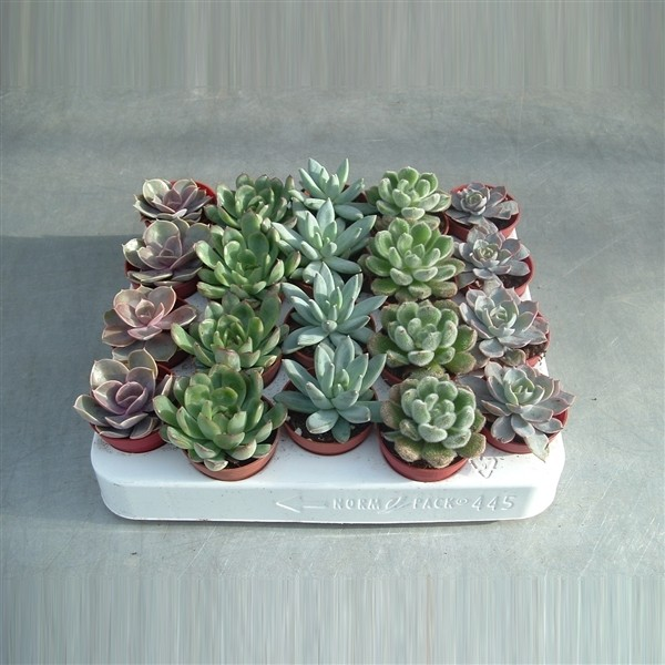 Echeveria Mix 5.5cm Pot