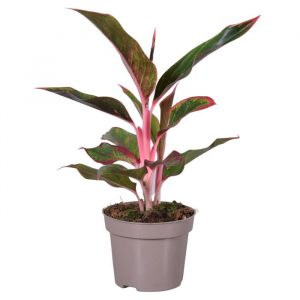 Aglaonema 'Light Pink Star' (Chinese Evergreen)