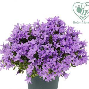 Campanula ambella 'Lavender'