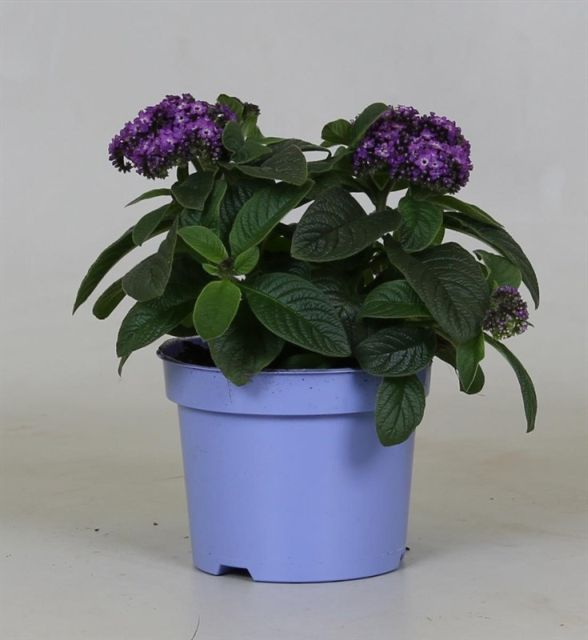 Heliotropium arborescens 'Marino Blue' (Heliotrope) 2