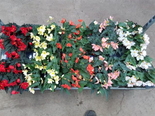 Begonia tuberhybrida Mix