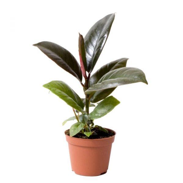 Ficus elastica 'Robusta' (Rubber Plant)