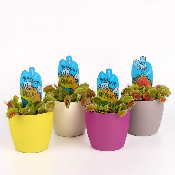 Dionaea muscipula (Venus Fly Trap) in 8.5cm Coloured Pot