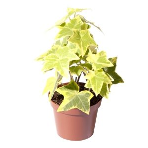 Hedera helix Yellow Mini (Ivy) in 6cm Pot