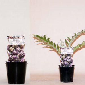 Cynara scolymus 'Purple of Romagna' (Artichoke)