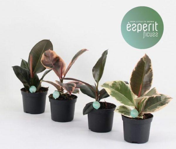 Ficus elastica (Rubber Plant) Mix 8.5cm Pot