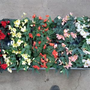 Begonia 'Florencio' Mix