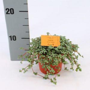 Pilea glauca 'Chique' in 10.5cm Pot