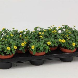 Sanvitalia procumbens Yellow