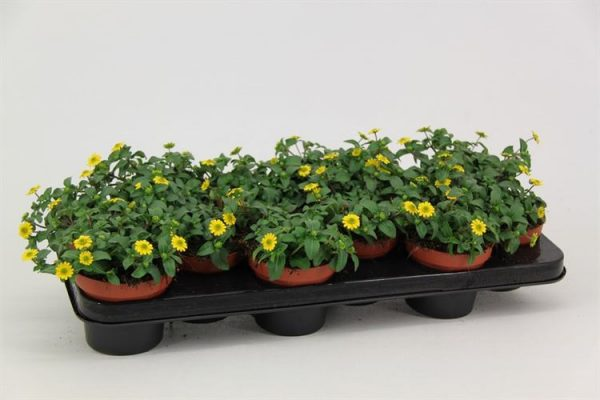 Sanvitalia procumbens Yellow