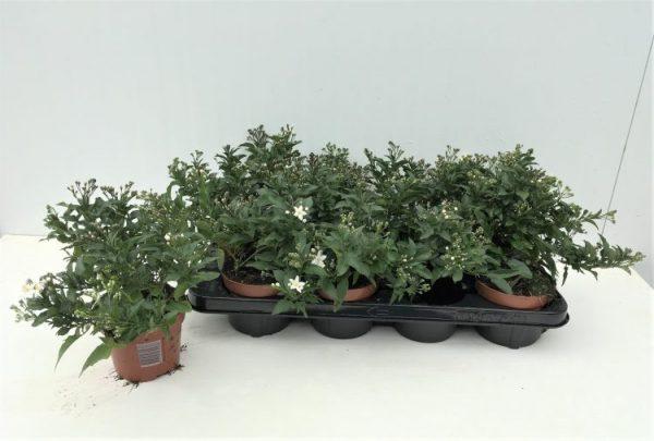 Solanum jasminoides 2