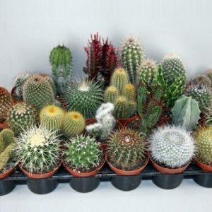 Cactus Mix in 8.5cm Pot