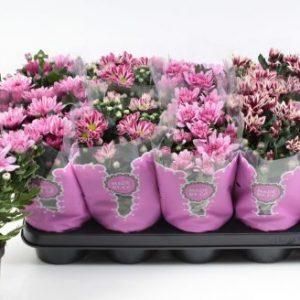 Chrysanthemum Pink Mix in 12cm Pot