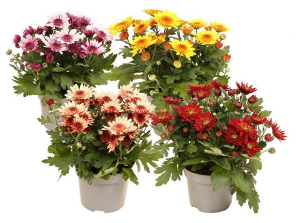 Chrysanthemum 'Suntaste' Mix
