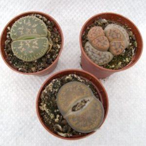 Lithops aucampiae (Living Stones) in 6cm Pot