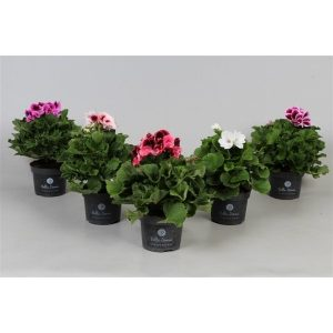 Pelargonium grandiflorum (Regal Pelargonium) Mix