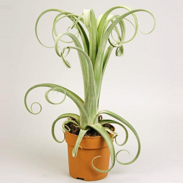 Tillandsia intermedia x streptophylla 'Curly Slim' (Air Plant)