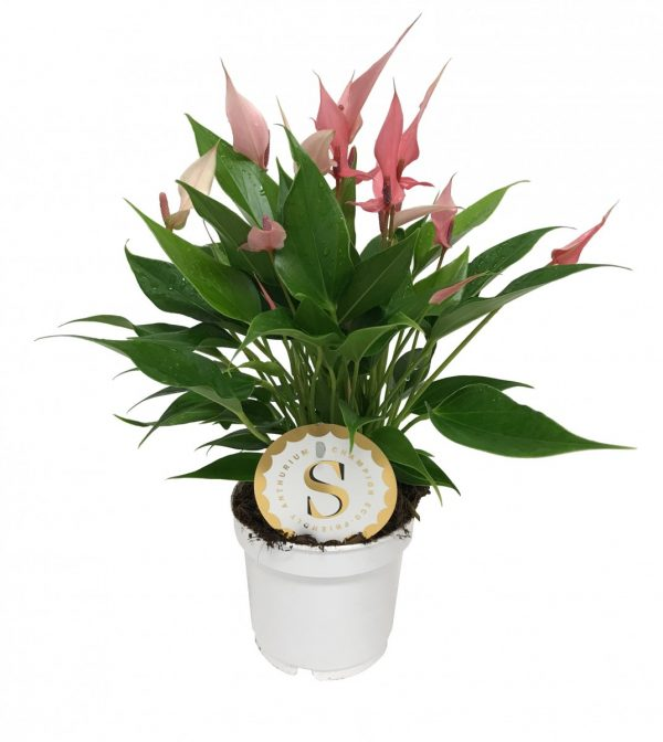 Anthurium royal lily pink