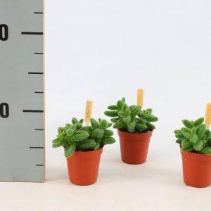 Delosperma echinatum (Pickle Plant) in 6cm Pot